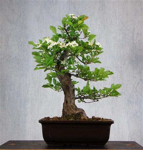 Bonsai verkauf